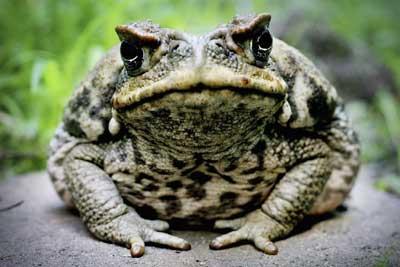 hallucinogenic-frog-1